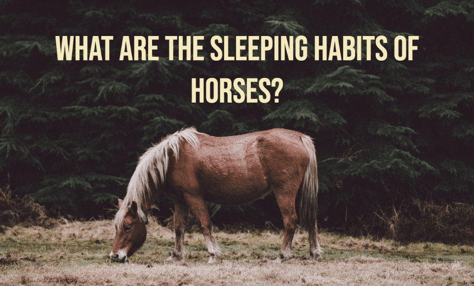 What are the sleeping habits of horses