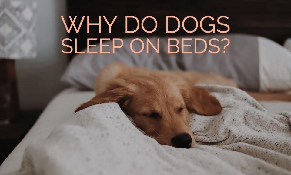 Why do dogs sleep on beds