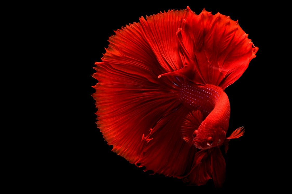 Can You Put Betta Fish with Other Fish